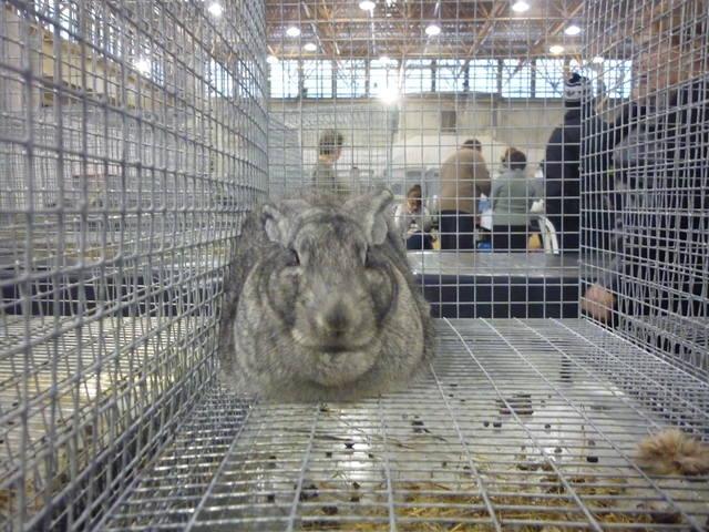 III Уральская выставка породных птиц и кроликов. г. Екатеринбург 01-02 декабря 2012 года - Страница 2 1321773_m