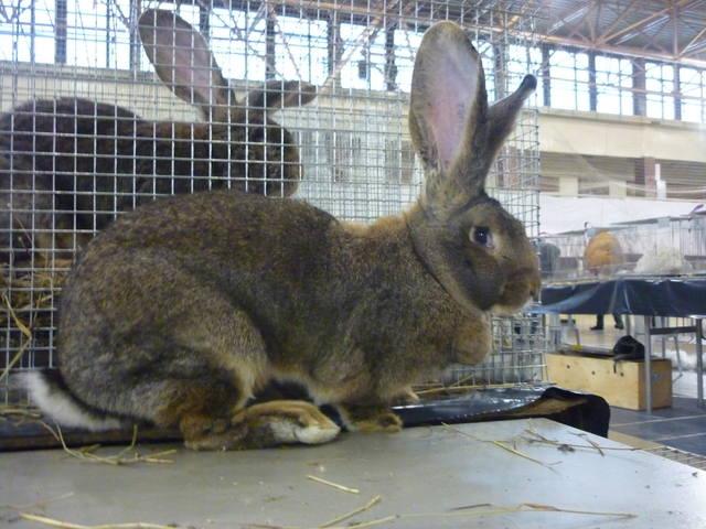 III Уральская выставка породных птиц и кроликов. г. Екатеринбург 01-02 декабря 2012 года - Страница 2 1321951_m