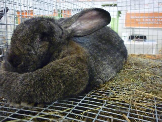 III Уральская выставка породных птиц и кроликов. г. Екатеринбург 01-02 декабря 2012 года - Страница 2 1322018_m