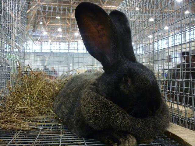 III Уральская выставка породных птиц и кроликов. г. Екатеринбург 01-02 декабря 2012 года - Страница 2 1322054_m