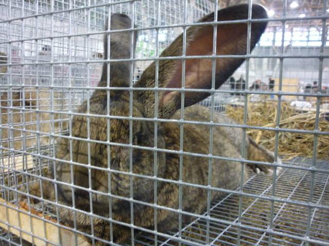 III Уральская выставка породных птиц и кроликов. г. Екатеринбург 01-02 декабря 2012 года - Страница 2 1322392_m