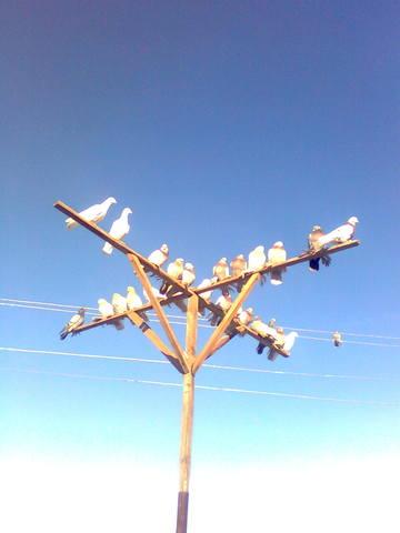 Стили игр, манера боя бойных голубей. 1328537_m