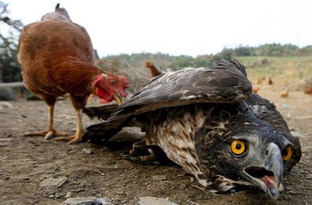 اخيرا اصبح بامكان الدجاجة الانتقام