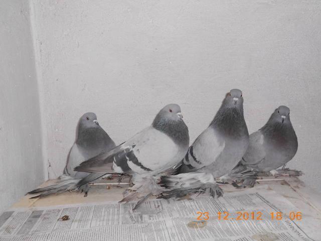 Масти скобастых голубей. Поясная группа. 1612288_m