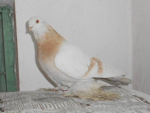 Масти скобастых голубей. Поясная группа. 1612356_m