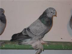 Масти скобастых голубей. Поясная группа. 1613006_m