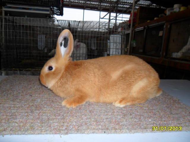 Кролики породы Бургундский - Страница 5 1664509_m