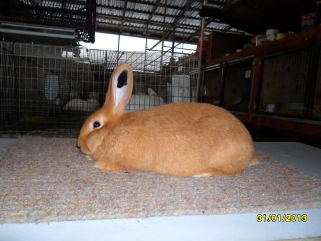 Кролики породы Бургундский - Страница 5 1664508_m