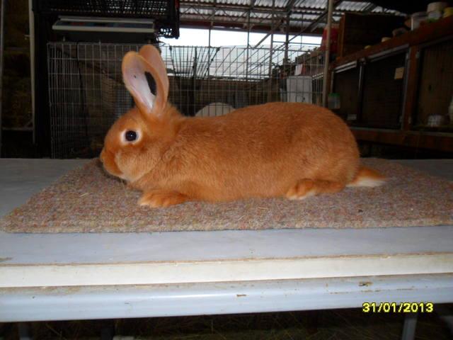 Кролики породы Бургундский - Страница 5 1664507_m