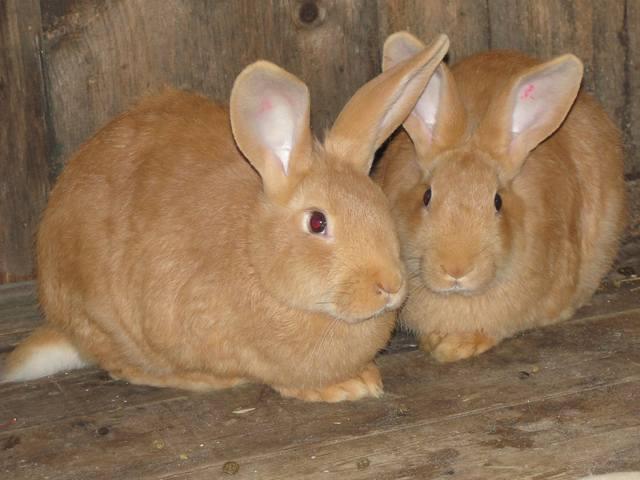 Кролики породы Бургундский - Страница 5 1665514_m