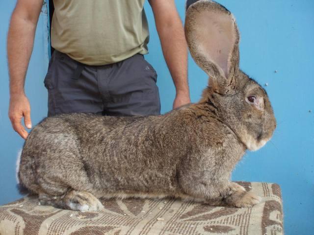 Бельгийский Великан(Обр,Ризен,Фландр) Кролики гиганты.часть 2 - Страница 3 1665555_m