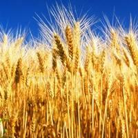Семена пшеницы Фото, Изображение Семена пшеницы.