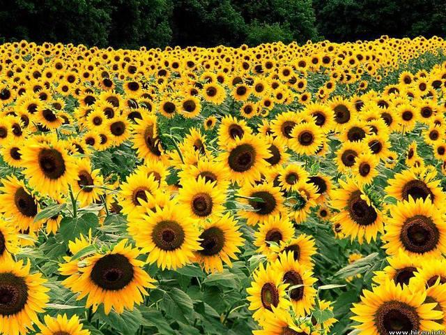 sun-flower-field-yellow-2-wallpaper