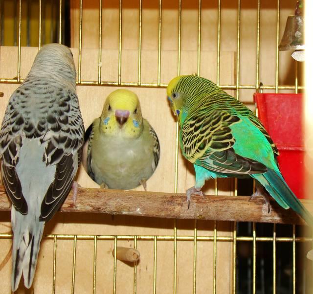 Повадки волнистых попугаев