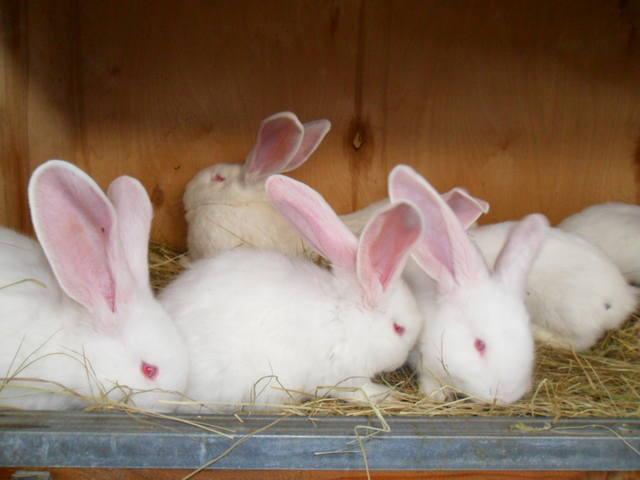 Бельгийский Великан(Обр,Ризен,Фландр) Кролики гиганты.часть 2 - Страница 6 2046524_m