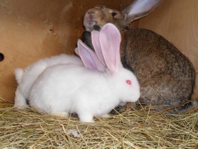 Бельгийский Великан(Обр,Ризен,Фландр) Кролики гиганты.часть 2 - Страница 6 2046570_m