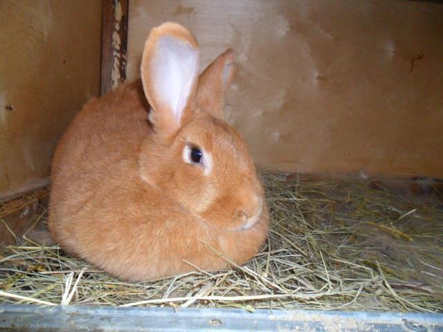 Кролики породы Бургундский - Страница 6 2046649_m