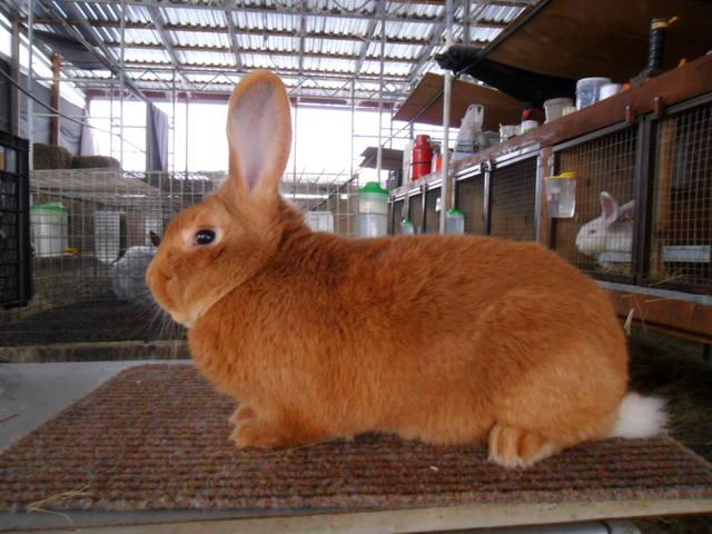 Кролики породы Бургундский - Страница 6 2066524_m