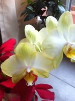 У меня неожиданно зацвела орхидея, я правда отступила от правил по уходу и держу ее на солнечной стороне...