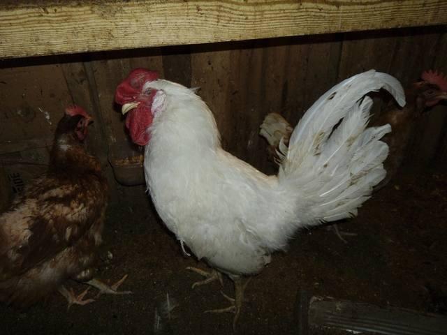 Селекция птиц 2104317_m