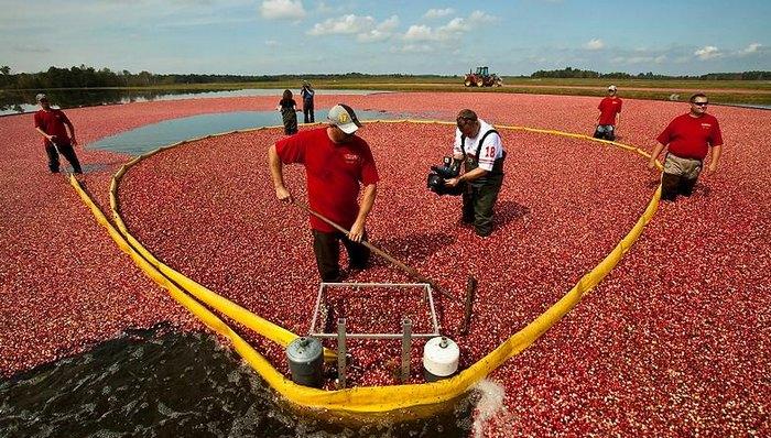 Как выращивают клюкву в США (видео)
