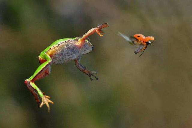 лягушка языком ловит комара видео
