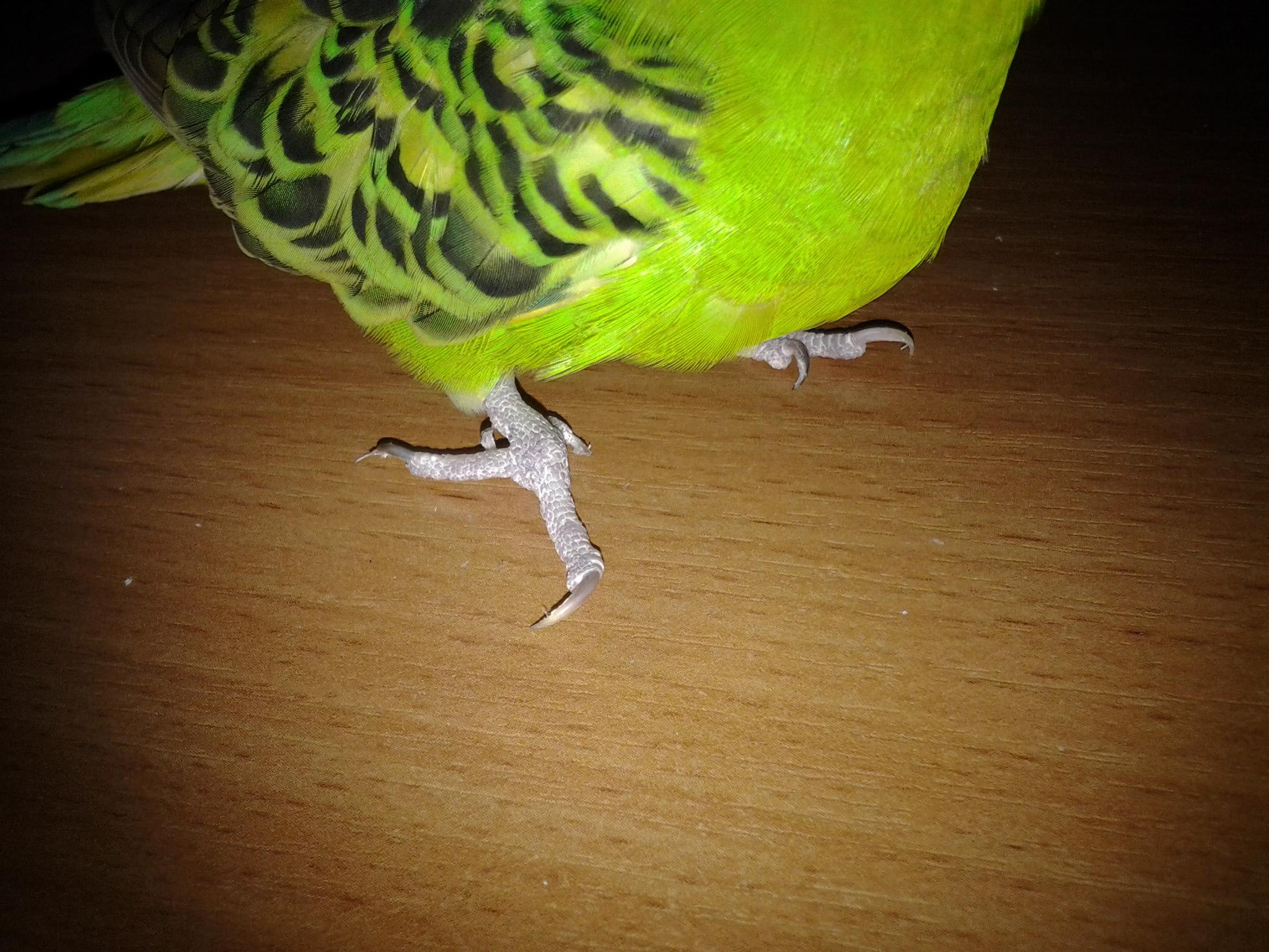 Свои гнёздышки волнистые попугаи устраивают в дуплах деревьев и в расщелинах скал