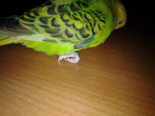 Волнистый попугай после отравления