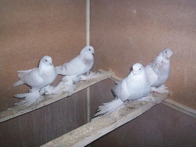 Масти скобастых голубей. Поясная группа. 2334722_m