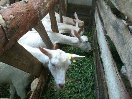 кормушки и ясли для коз фото