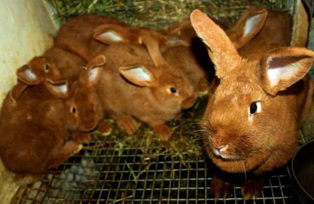 Кролик породы Новозеландский красный. - Страница 4 2540496_m