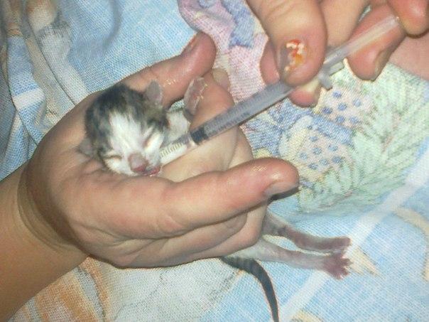 Как выкармливать новорожденных котят без кошки в домашних условиях