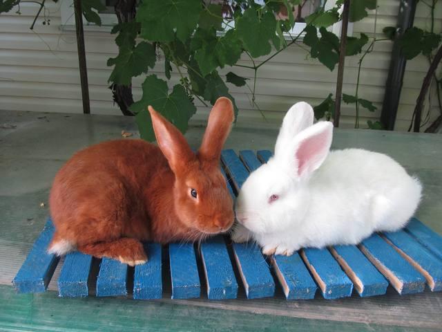 Кролик породы Новозеландский красный. - Страница 4 2572839_m
