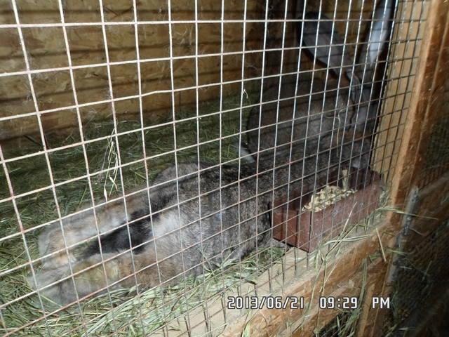 Пододерматит кроликов - Страница 2 2578830_m