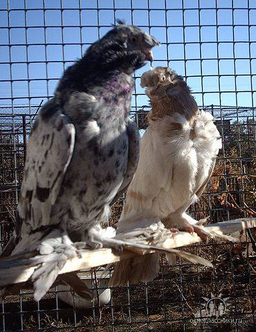 Фото пород голубей 2594941_m