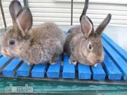 Продам крольчат венского серого две самочки. Пропоены привиты. Возраст 3,5 месяцев. 2598109_m
