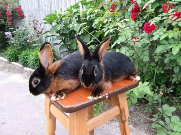 Продам кроликов породы черно-огненый . Возраст 6 месяца. Пропоены, привиты. 2598152_m
