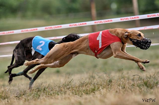 искусственная приманка за которой бегут собаки в гонках