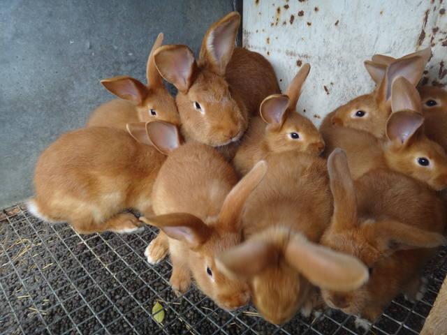 Кролики породы Бургундский - Страница 6 2649830_m
