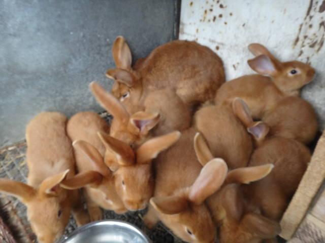 Кролики породы Бургундский - Страница 6 2649841_m