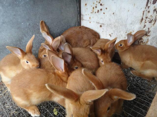 Кролики породы Бургундский - Страница 6 2649846_m