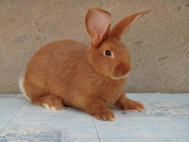 Кролики породы Бургундский - Страница 6 2693833_m