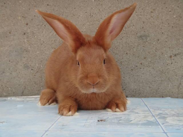 Кролики породы Бургундский - Страница 6 2693834_m
