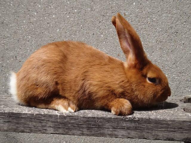 Кролики породы Бургундский - Страница 6 2693835_m