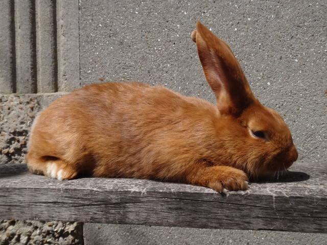 Кролики породы Бургундский - Страница 6 2693836_m