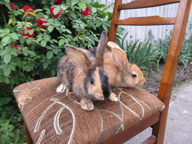 Кролик породы Японский 2699658_m