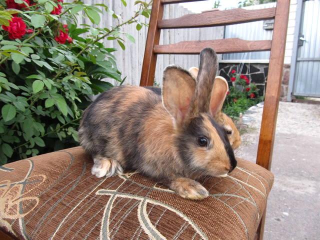 Кролик породы Японский 2699662_m