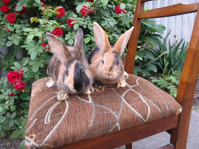 Кролик породы Японский 2699667_m
