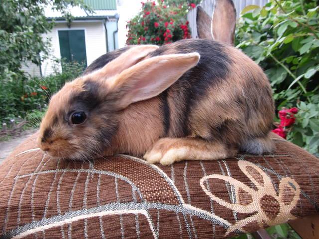 Кролик породы Японский 2699670_m
