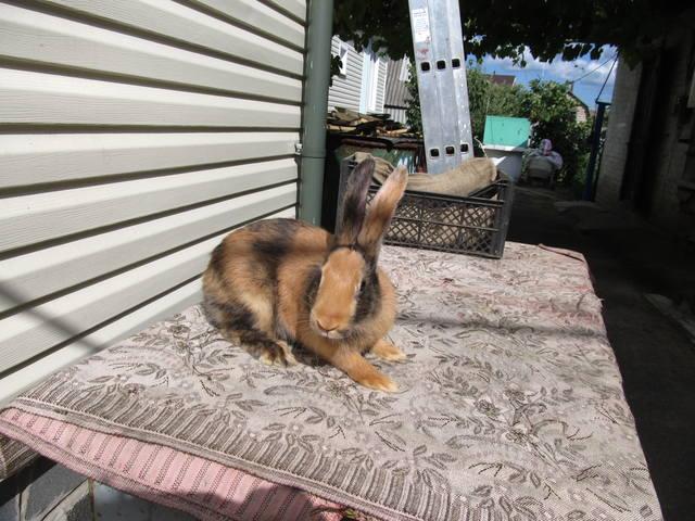 Кролик породы Японский - Страница 2 2762199_m